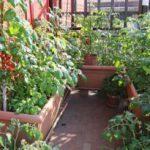 Выращивание овощей на балконе своими руками