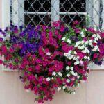 Выращивание петунии на балконе