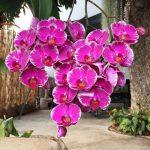 Что делать с орхидеей, когда она начинает увядать?