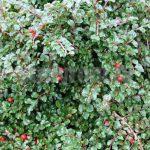 Живая изгородь из кизильника