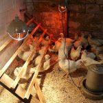 Особенности строительства зимнего курятника своими руками