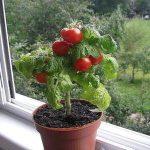 Как вырастить черри на балконе